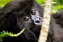 gorilla tracking safaris in Bwindi