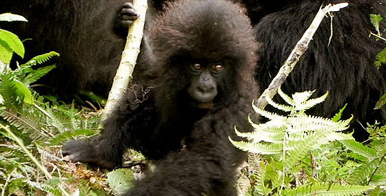 double gorilla trekking safari packages